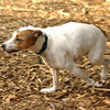 OLIVER (jack russell)_24