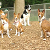 FOUR BASENJIS, Mickie (blue eyes)