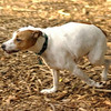 Oliver (jack russell, RUN) (PIC)