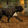 TANK, LOKI (french bulldogs, NEW)_10
