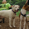 POWDER (white pitbull)_2