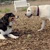 OLIVER & ROXY (lab pup) 26