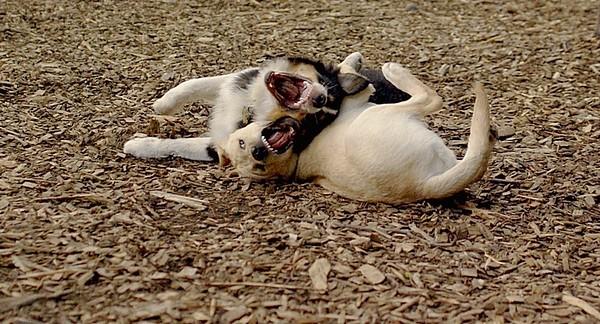 OLIVER & FRASER (puppy) 26
