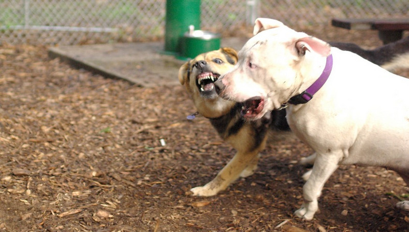 POWDER (white pitbull), Maddie 55 (pic) m