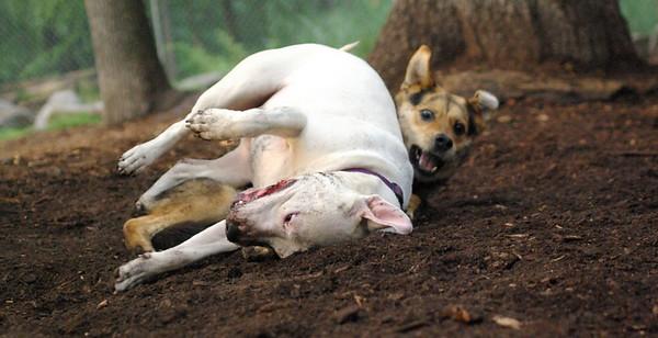 POWDER (white pitbull), Maddie 31  (pic)