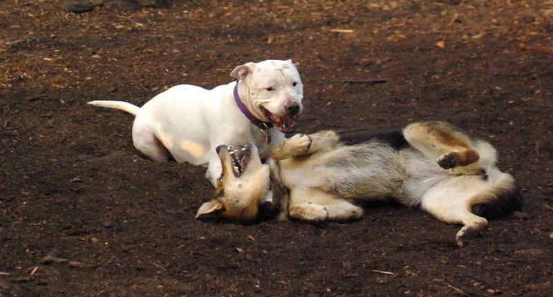 POWDER (white pitbull), Maddie 50 (pic) h