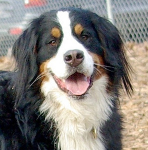 LOLA (bernese mountain dog)