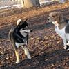 CHELSEA (beagle), TAZ (shiba inu)
