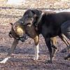 AXEL (boxer), CHARLIE (black hound like) 2