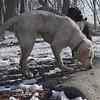 ZOE (yellow lab pup) 3