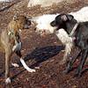 AXEL (boxer), CHARLIE (black hound like) 3