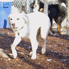ZOE (yellow lab pup) 2