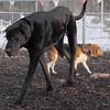 Harley ( great dane), Chelsea (beagle)