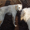 ZOE (yellow lab pup)