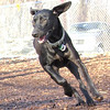 CHARLIE (black, hound-like)