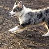 MAIA (aussie pup).