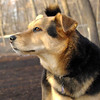 MADDIE (indiana stockdog)