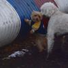 BERNI (goldendoodle), CHANDLER 2