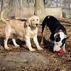 HAZEL (new golden puppy), BUD