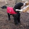 BUBBA (pup), Moby (portuguse water dog) 77