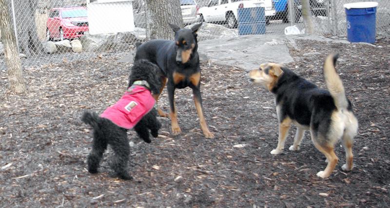 PETE (new doberman), Jet, Maddie