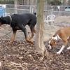 PETE (new doberman), BUBBA (boxer pup)