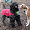 BUBBA (pup), Moby (portuguse water dog) 9