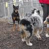 PETE (new doberman), aussie pups