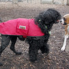 BUBBA (pup), Moby (portuguse water dog)