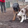 PETE (new doberman), MAVERICK (pup)