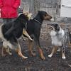 PETE (new doberman), Maddie, Marley (aussie girl)