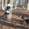 MAGGIE (foxhound bc mix) 2.jpg
