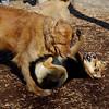 DAKOTA (golden boy), Maddie 2.jpg
