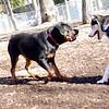 MAX (husky) & EUBIE (rottie boy) 2.jpg