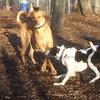 MAGGIE (foxhound bc mix), DUTCH 3.jpg