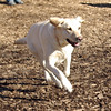ANNIE (yellow lab girl).jpg