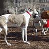 CHASE (greyhound) , Bud, Rocky.jpg