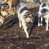 maddie, cali, maggie ( foxhound mix).jpg