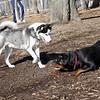 MAX (husky) & EUBIE (rottie boy) 5.jpg
