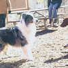ELI (new australian shepherd boy).jpg