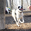 MAGGIE (foxhound, border collie) new 2.jpg