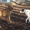 MAGGIE (foxhound bc mix), DUTCH.jpg