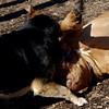 ROCKY (french mastiff), MADDIE 2.jpg