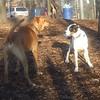 MAGGIE (foxhound bc mix), DUTCH 2.jpg