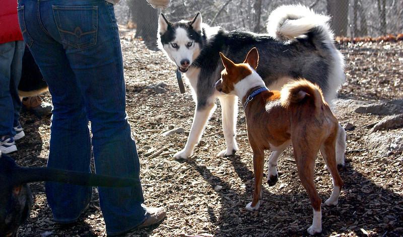 MAX (husky) & SHAMUS (basenji).jpg