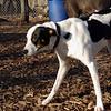 MAGGIE (foxhound, border collie) new.jpg