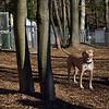 LUCY (pitbull).jpg