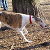CHASE (greyhound) newish.jpg
