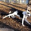 MAGGIE (foxhound, border collie) new  3.jpg