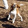 CODY (beagle, new) 2.jpg
